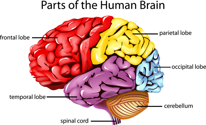 The Secrets of the Human Brain